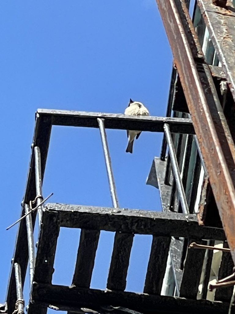 Fluffy male house sparrow sat up on the top fire escape next door singing away for quite some time. This is a zoomed image of his fluffiness.