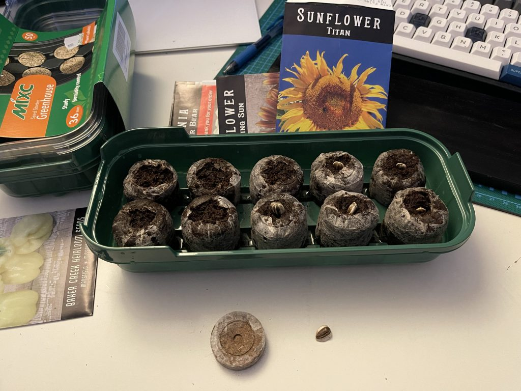 Planting the seedlings on 21 April 21. After the peat pellets are expanded by absorbing water, you place a seed in top and cover it. EASY. The half on the left in the tray are done. The half on the right, I just pushed the seed down and covered it up. In front, are a compressed peat pellet and one of the Titan sunflower seeds.
