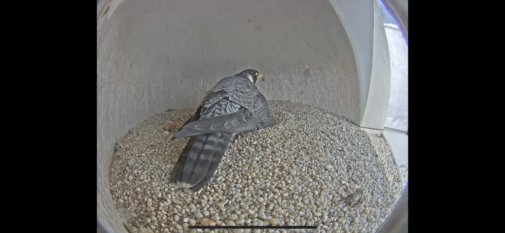 Screen shot of the falcon sitting on her hatchling in the manmade nest on top of the courthouse.