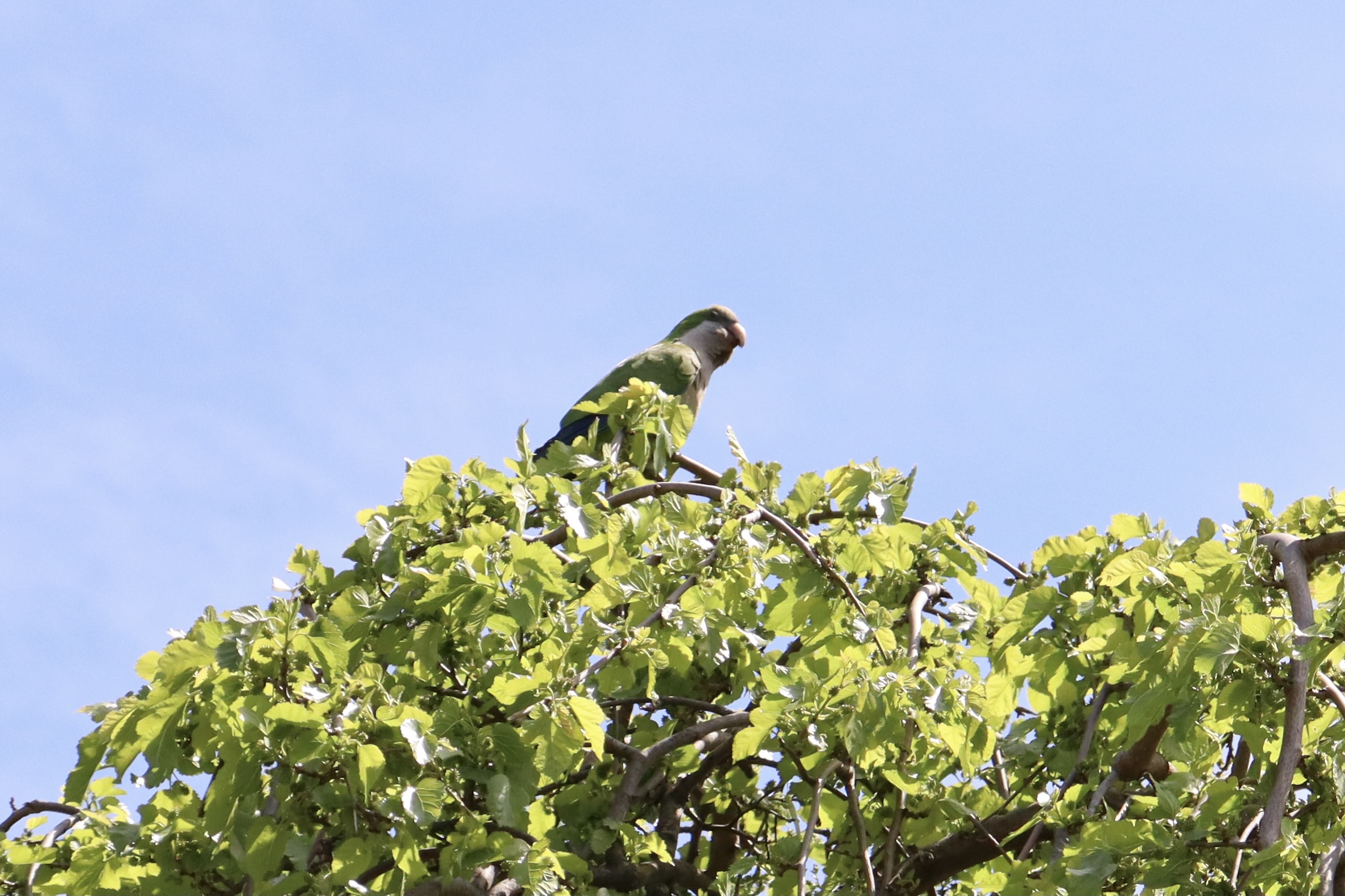 Robin at Green-Wood Cemetery - The American Robin made way for this Monk Parakeet atop the same tree.