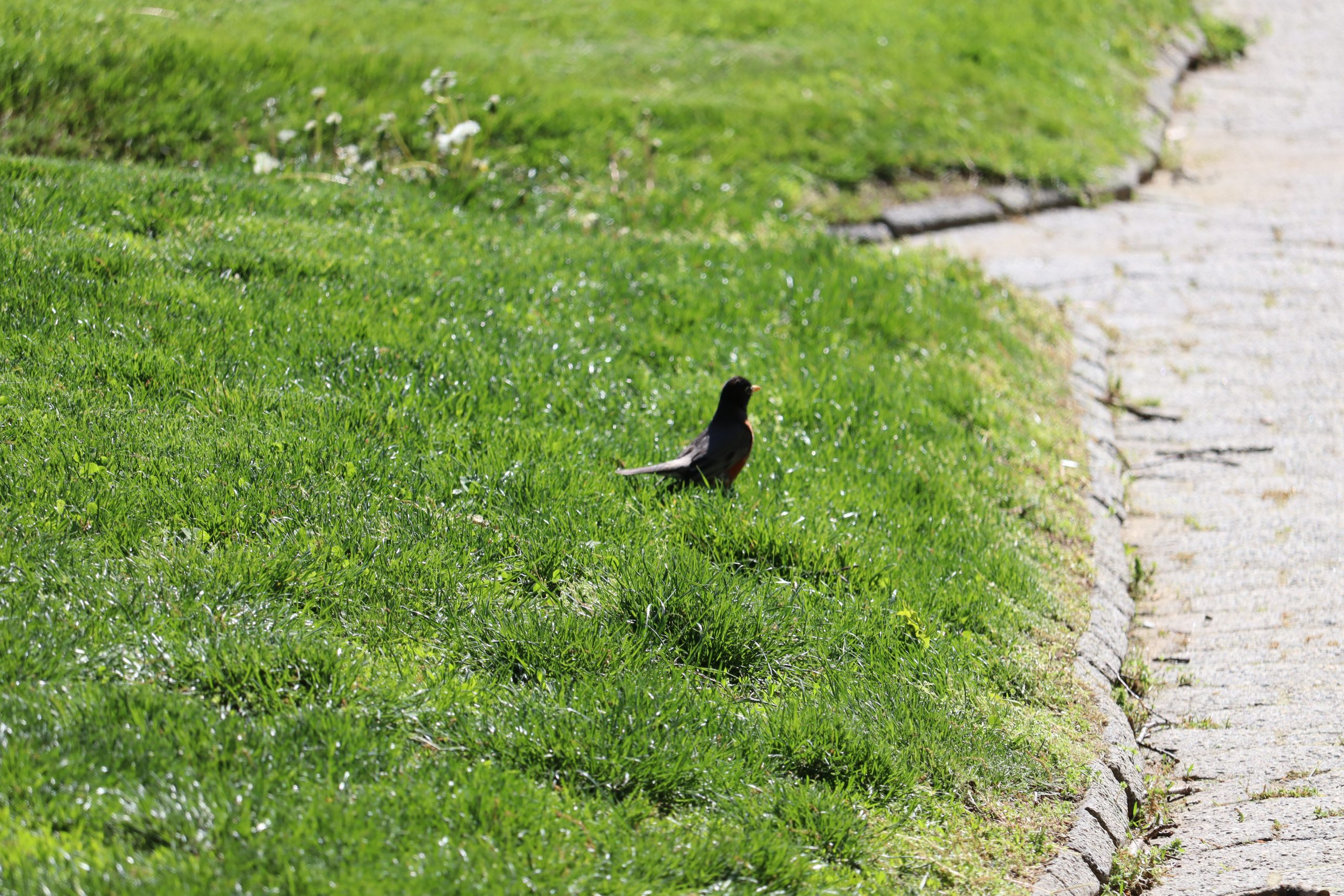 A picture of the SAME American Robin in the grass at Green-Wood Cemetery; I used a 250MM lens length for this photo. What a difference in perspective and focus!