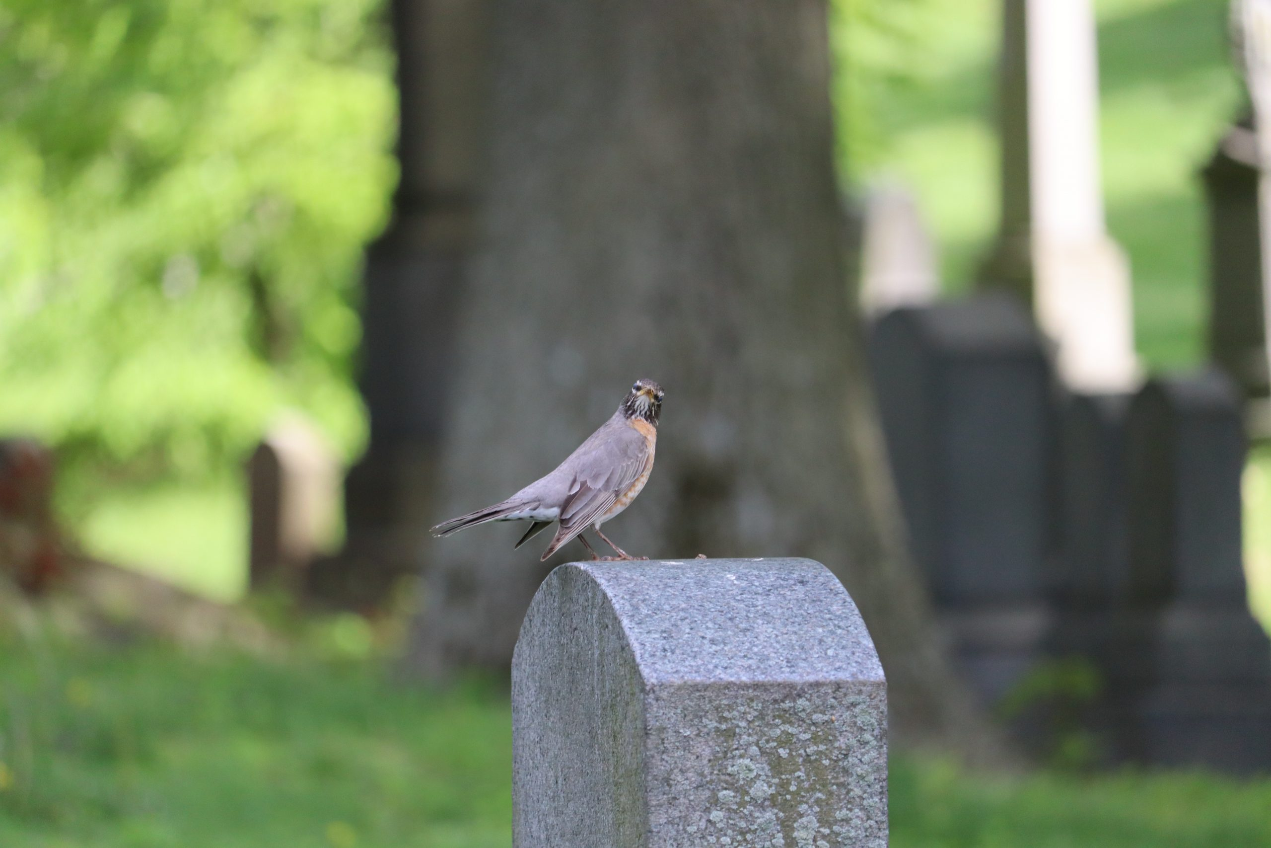 Caught again! After several shots, this American Robin atop a tombstone gave me a good once over.