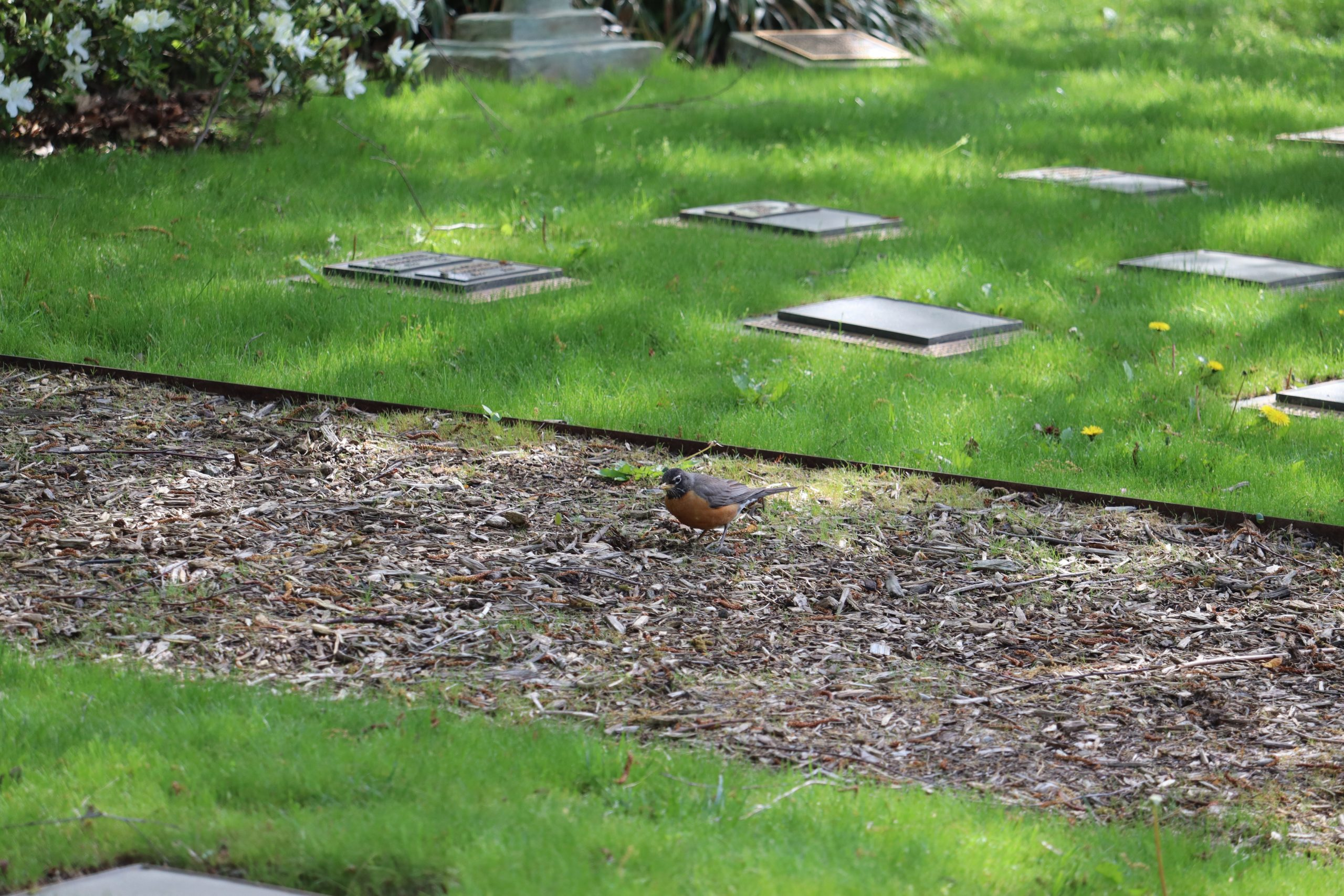 Here's an American Robin eating from the ground, just before flying away. By watching his behavior I was able to get a lot of good images. From watching other Robins, I knew he would likely fly away soon. He did. See next picture!