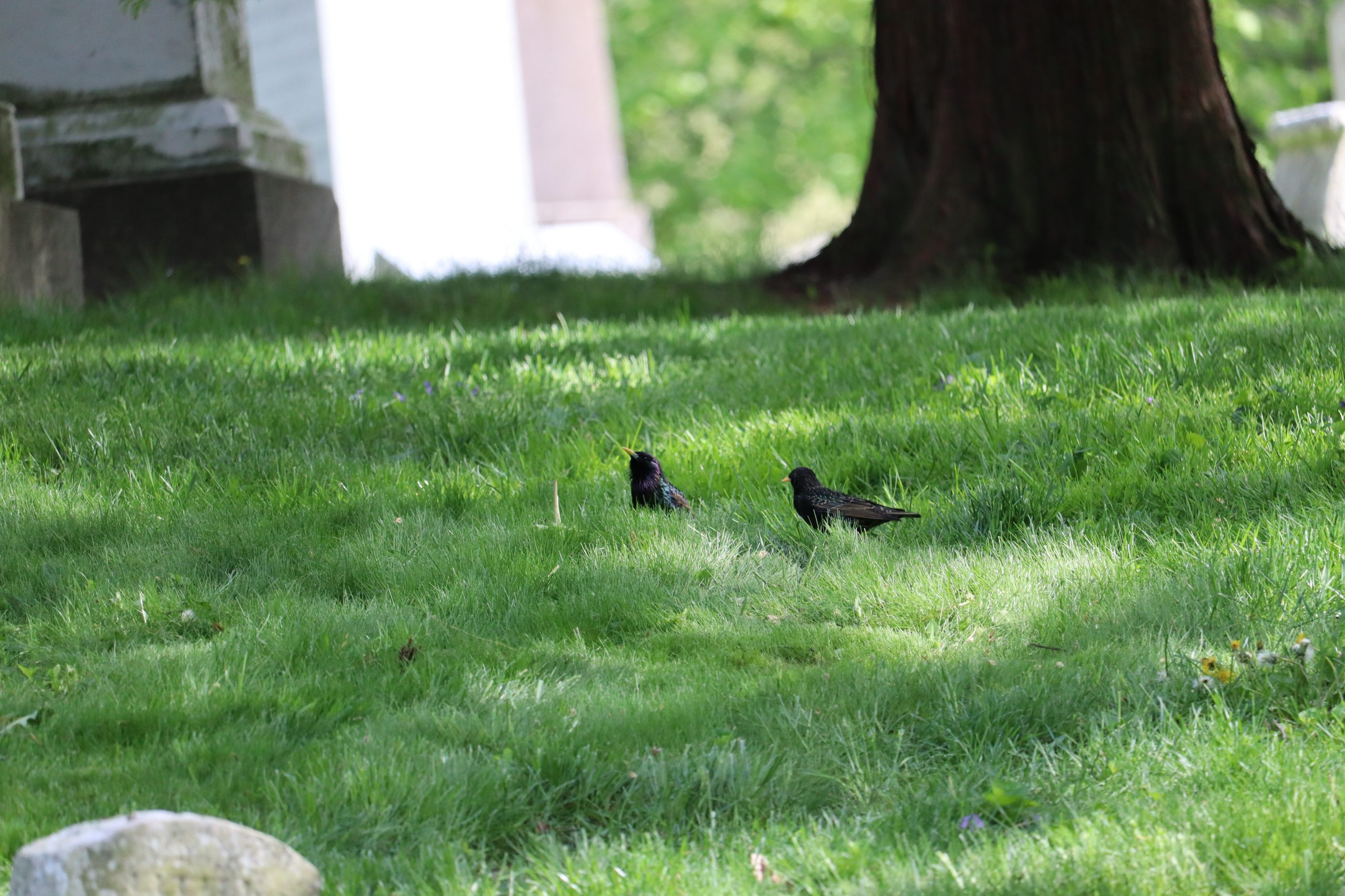 While the birds were mostly American Robins, I did spot a number of European Starlings at Green-Wood on my visit.
