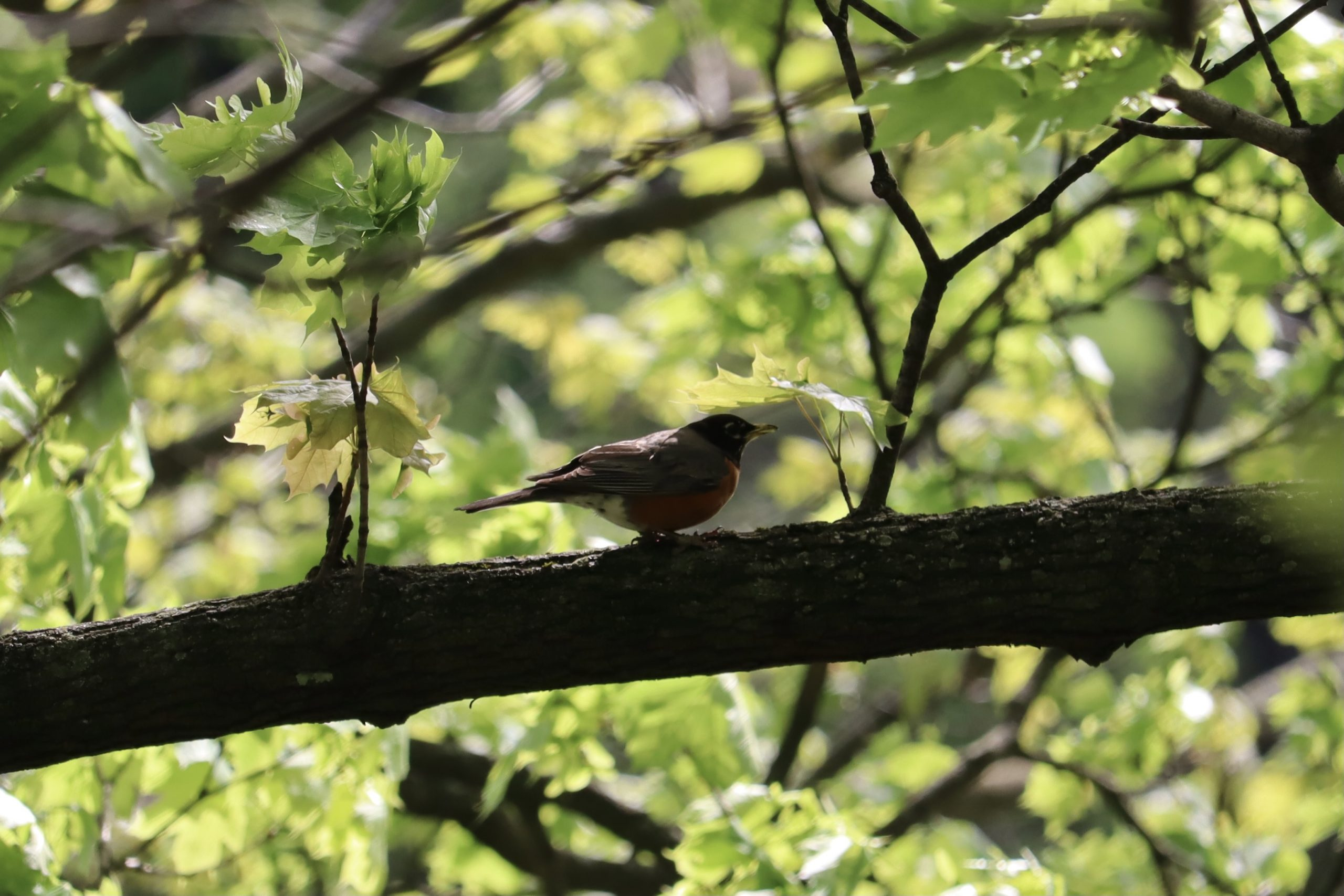 It took a bit to get down how to take photos of birds in trees. Good thing film is cheap. Here is an American Robin on a branch in a tree.