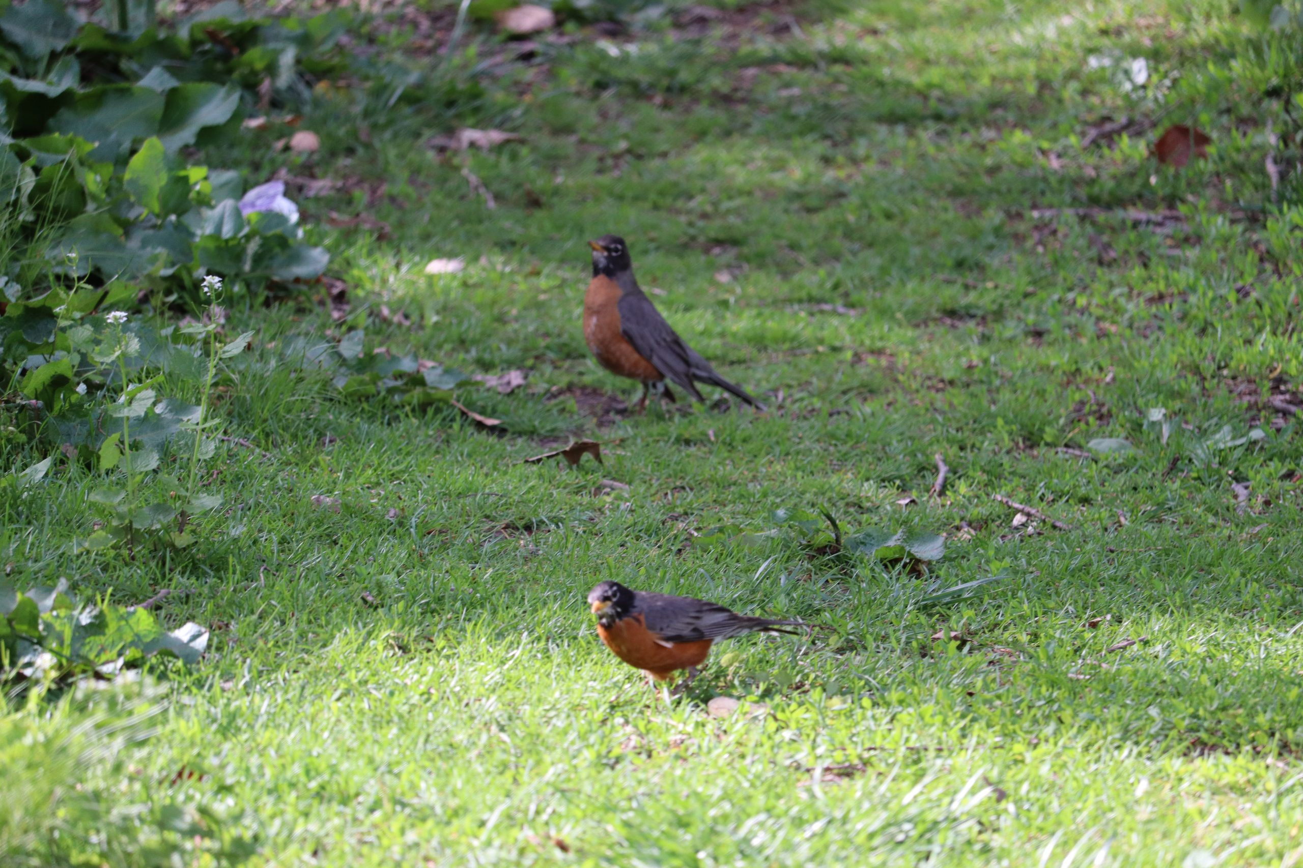 A pair of American Robins. I spotted these down by Sylvan Water. I felt like I saw more pairs of birds as I got closer to the water.