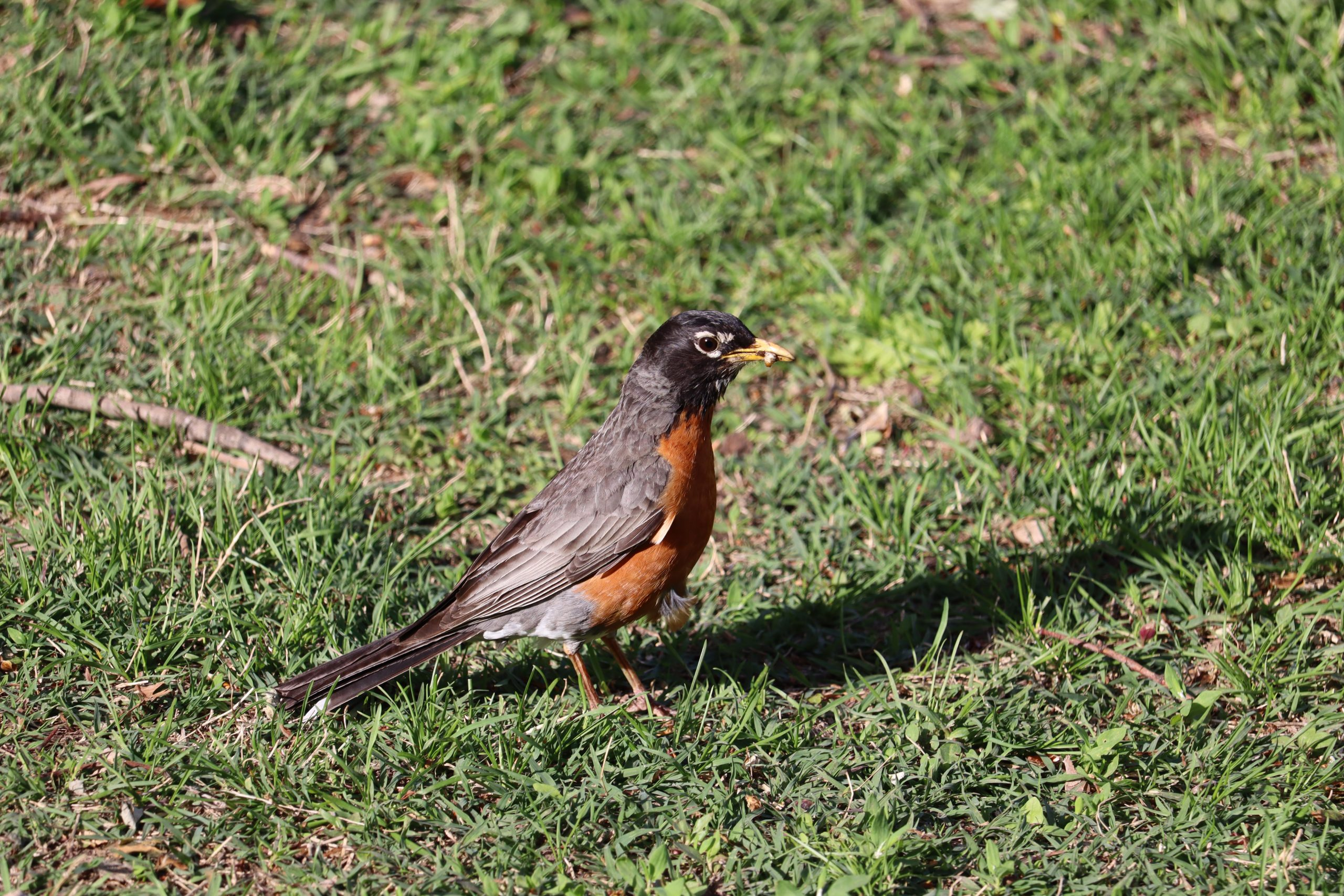 """I call this one """"Bird Beak & Grub Guts"""". If you look closely in the American Robin's beak, you'll see it has captured--and squashed--a grub. Cool!"""