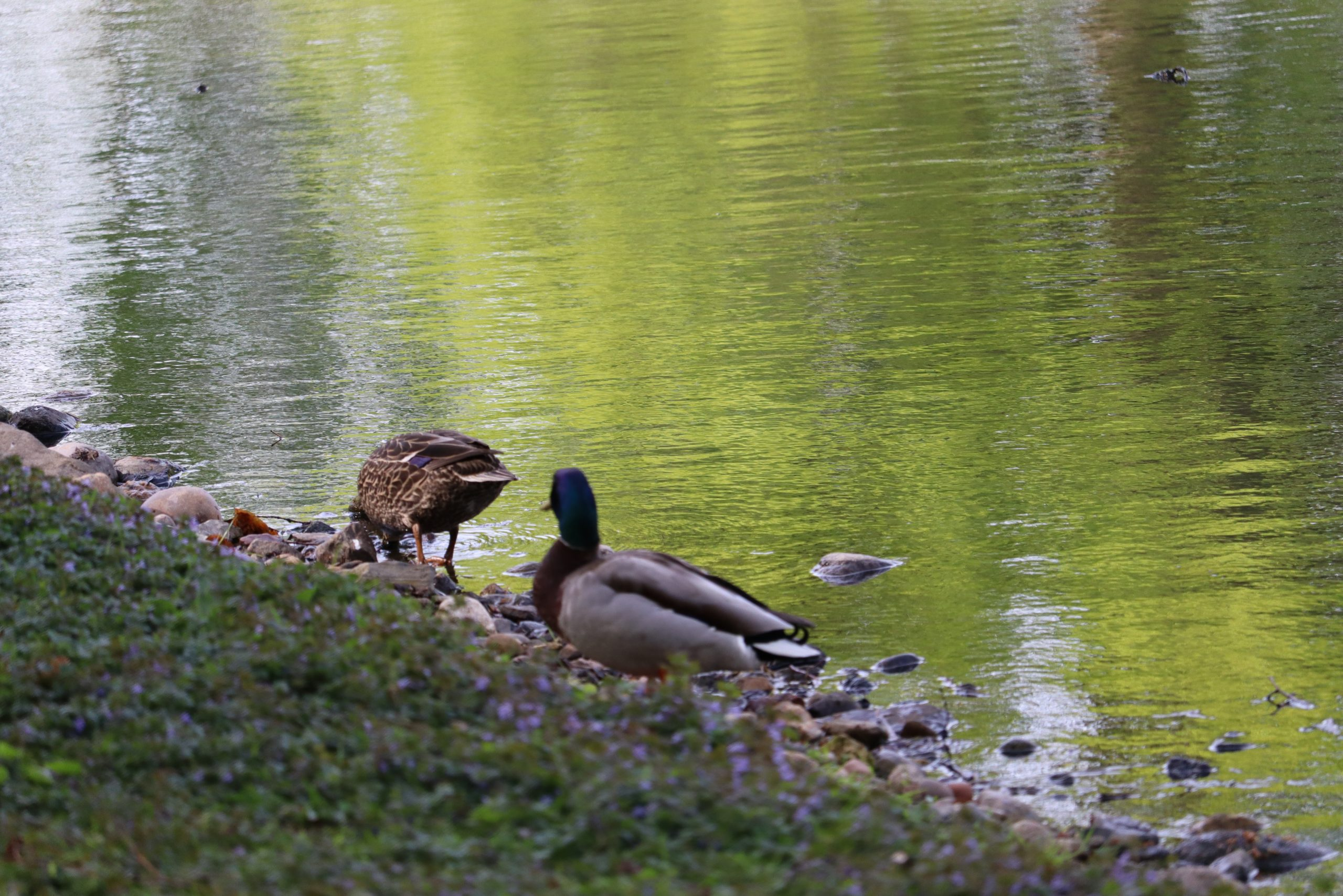 these down by Sylvan Water. I felt like I saw more pairs of birds as I got closer to the water.