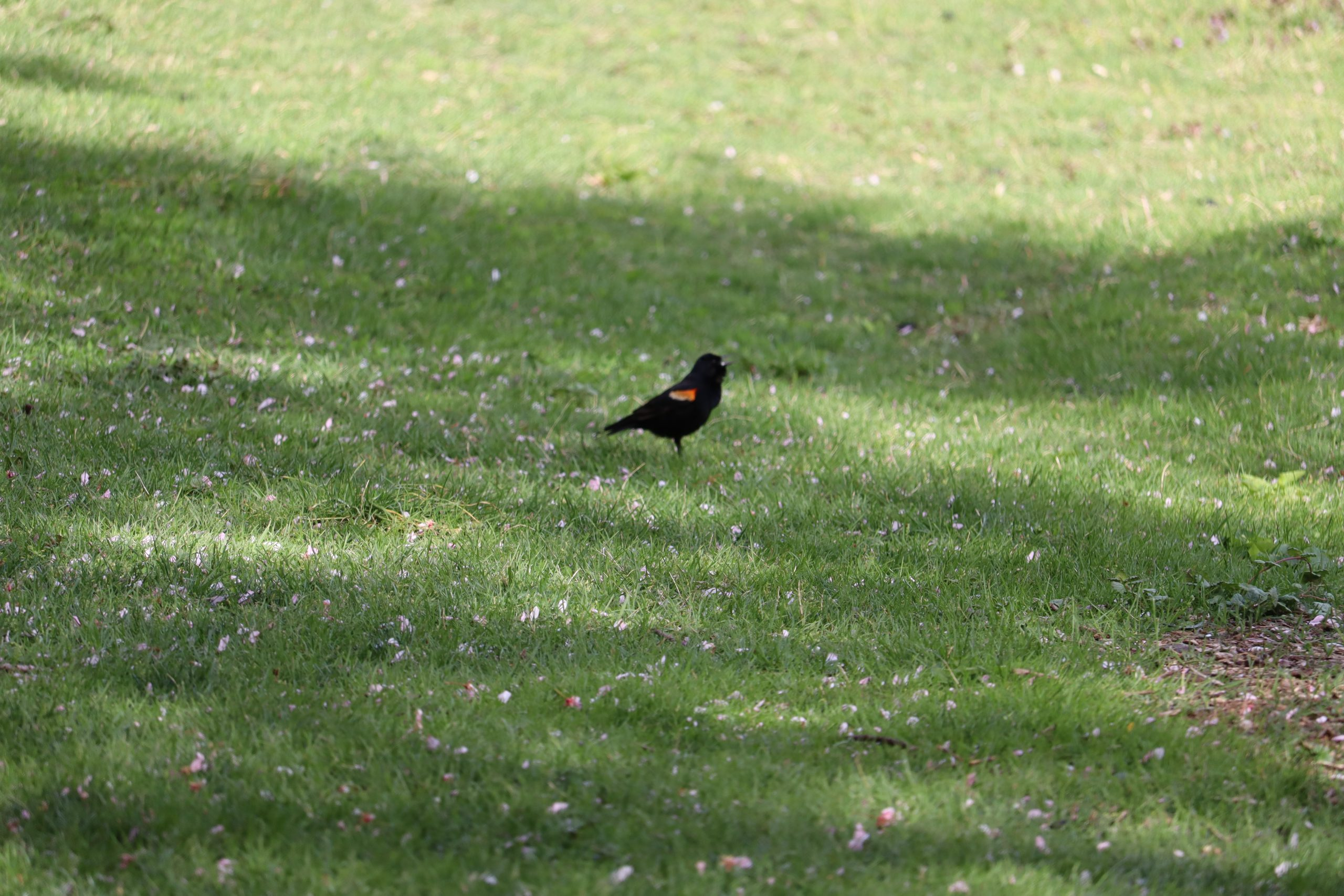 According to the Merlin app, this is a red-winged blackbird. This identification was particularly tricky at first. The red and yellow appeared orange at first and with the bird moving it was hard to see details. Taking a picture I could clearly see the distinct colors.