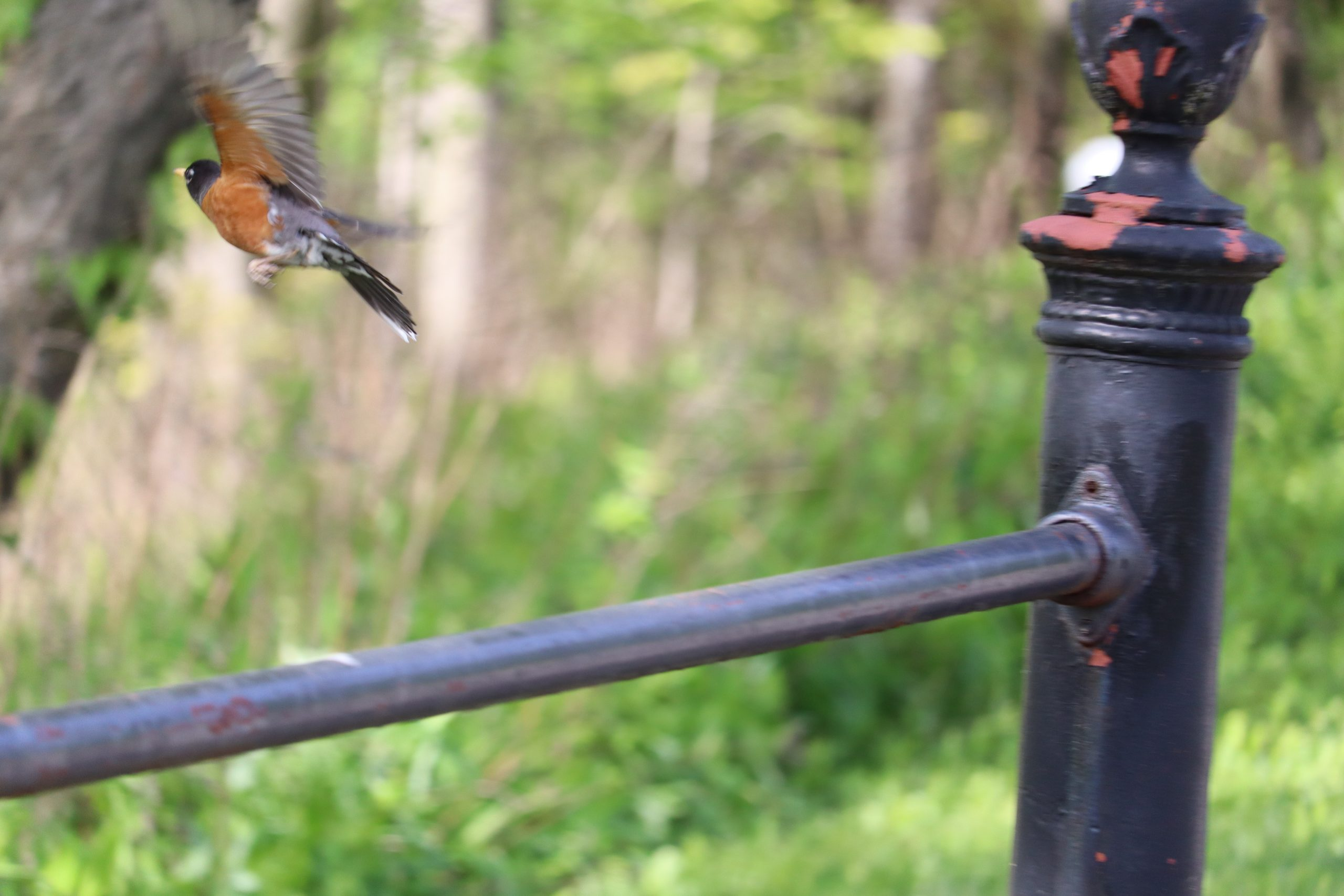 Another American Robin in flight. It had been sitting on the railing and then took off while I was taking pictures.