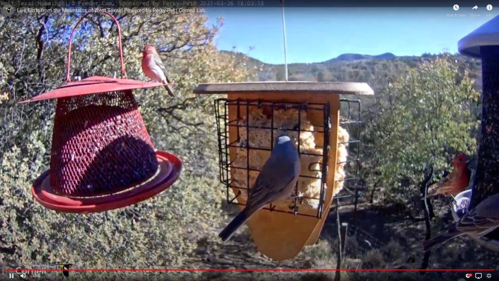 Screen Shot Taken March 26, 2021 at 19h03min of the West Texas Birdcam in Ft. Davis, Texas