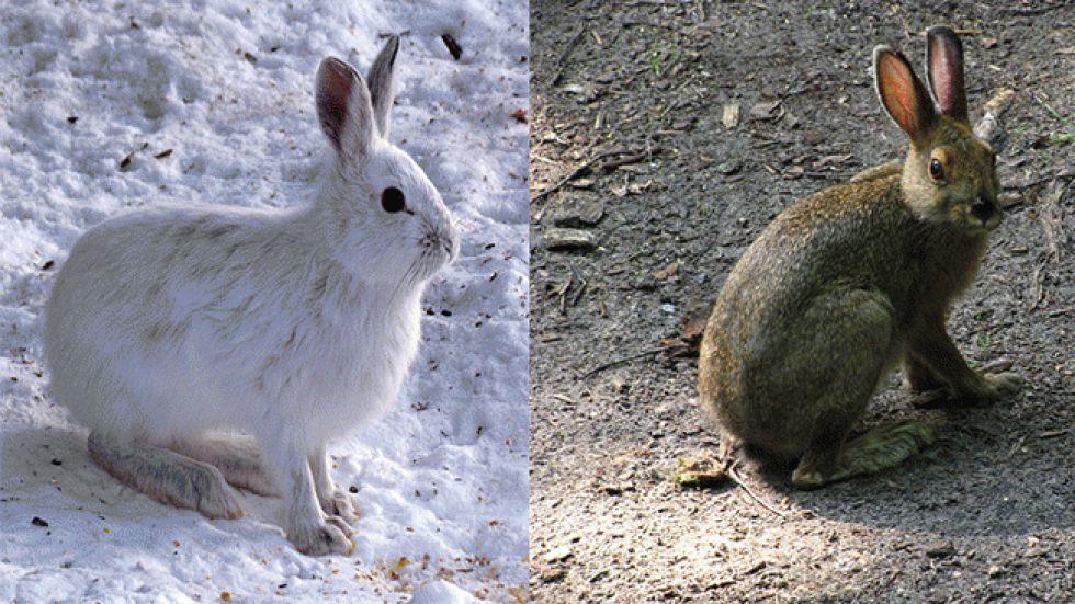 Snowshoe Hare in Winter vs Summer